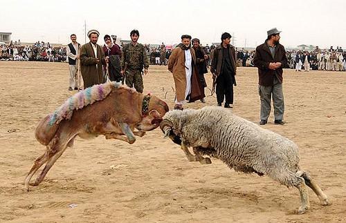 afghan ram fighting