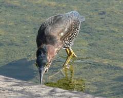 Juvenile Green Heron - 2