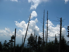 Dead trees and sky