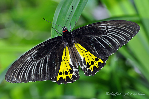 Common Birdwing (Troides Helena Cerberus) | 金裳鳳蝶