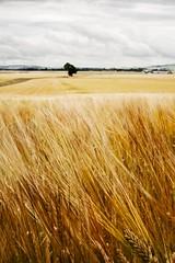 Harvest time (chriscameron) Tags: summer tree field landscape golden scotland fife wheat harvest crop fields abigfave sonyalphadslra200 ourdailychallenge