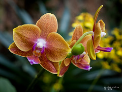 orchids (contemplative imaging) Tags: park city flowers urban orange plants usa house chicago orchid flower green nature yellow gardens america garden illinois midwest orchids meetup natural formal july saturday conservatory american lincoln ornamental contemplative lincolnpark lr cookcounty 2010 contemplation lincolnparkconservatory lr3 midwestern olye600 contemplativeimaging ✿beautiflower✿ 20100710 cnipm20100710 olysg35m lpze60020100710085