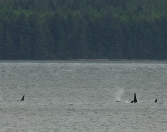 Orcas off Sointula, B.C. (orbora78) Tags: pod britishcolumbia vancouverisland whales orcas killerwhales spouting malcolmisland cormorantchannel