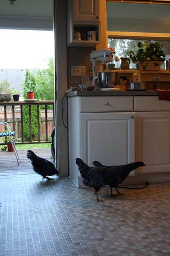 chickens in the kitchen! noooo