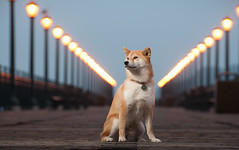 Morning Glow - 28/52 (kaoni701) Tags: sf sanfrancisco lighting portrait dog cute project puppy japanese nikon embarcadero wireless week28 nikkor suki shibainu 70300mm vr afs cls pier7 70300 shibaken 柴犬 strobist sb900 d300s 52weeksfordogs