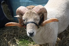 Another one with wonderful horns (keepinsidethelines) Tags: rarebreeds hornedsheep wealdanddownlandmuseum