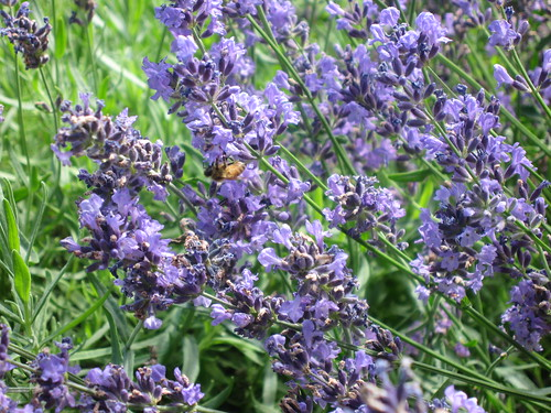 lavendar 2
