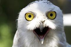 [フリー画像] 動物, 鳥類, フクロウ科, シロフクロウ, 口を開ける, 201007220100