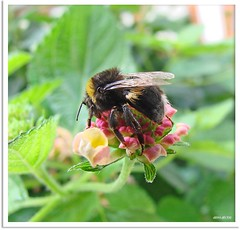 arbeitsame Biene - hard-working bee (1)