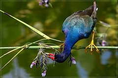 Purple Gallinule (zensart) Tags: nature birds florida wildlife wetlands everglades wildbirds purplegallinule