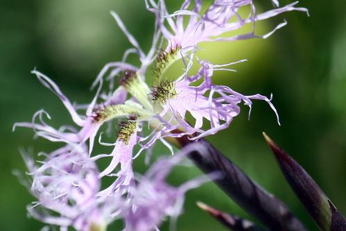 wildflowers 064