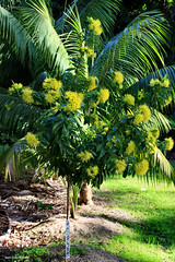 Xanthostemon chrysanthus - Golden Penda, Black Penda, Johnstone River Penda (Black Diamond Images) Tags: flower rainforest native nsw queensland myrtaceae tropicalflowers australiannativeplant goldenpenda xanthostemonchrysanthus australiannativeplants hallidayspoint xanthostemon rainforestplants rainforestplant arfp australianrainforestplant australianrainforestplants flowersrainforest rainforestflowers floweraustralian rnrfgdb qrfp australianrainforestflowers arfflowers yellowfp yellowarfflowers tropicalarf lowlandarf uplandarf arfsign xanthostemonchrysanthuscvfairhillgold blackpenda jonstoneriverpenda flowersaustralian tropicalrainforestflowers rnrfgdbarfp