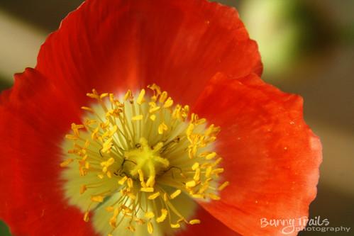 203-poppy
