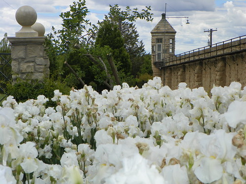 A profusion of white irises are framed by the Old Penitentiary