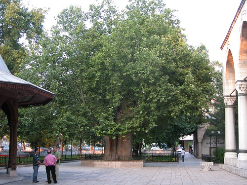 DSCN9709  Amasya, mosquée Beyazit, arbre panté au XVe