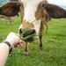 feeding cows 2