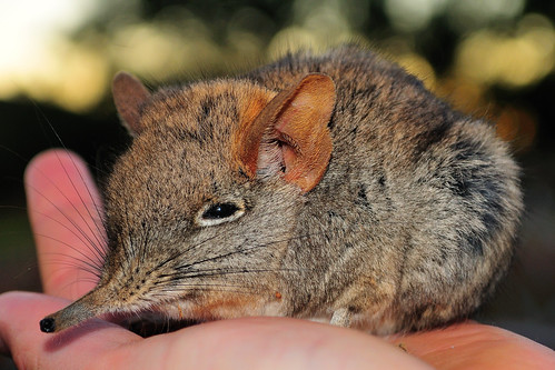 Elephant shrew by jboyles3
