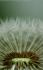Dandelion (Thomas Suurland) Tags: plant flower macro green dandelion suurland thomassuurland