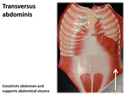 Transversus abdominis, anterior abdomen - Muscles of the Upper ...