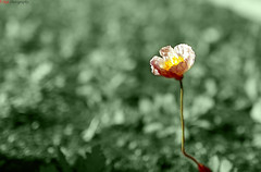 The lonely dreamy flower [Explored] (Qiao.Wei) Tags: flower garden tomorrow 35mmf14 bokehhearts canon5dmarkii dreamylife