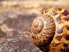 Hiding from the world (jakepjohnson) Tags: home nature animal shell snail hide finepix fujifilm swirl hiding lightroom s2000hd