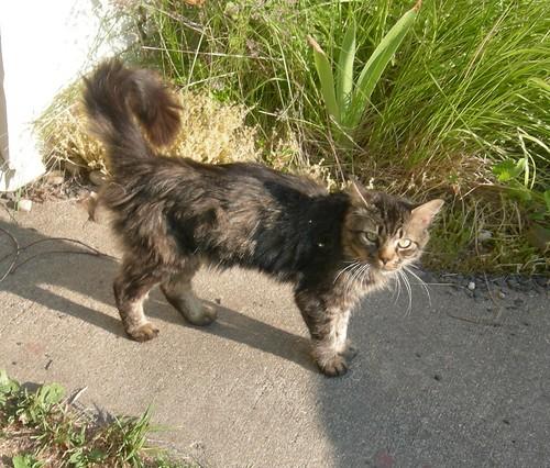 Tigger kitty