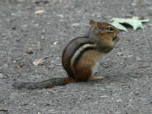 Eastern Chipmunk; Tamias striatus