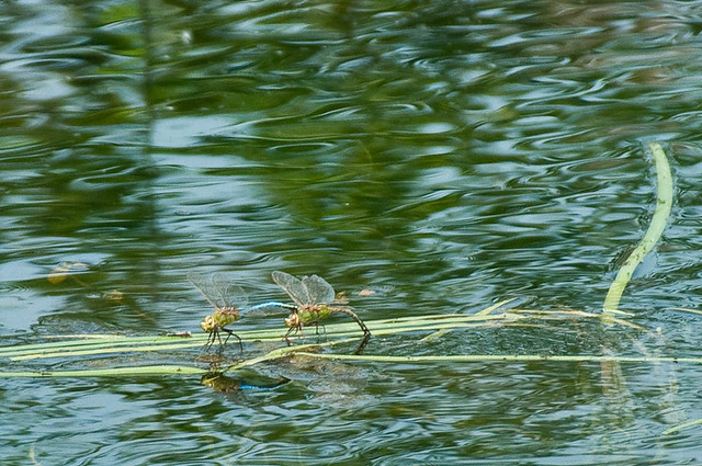 Common Green Darner (Anax junius) pair