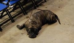 Lazy dog (Funky Mama Taney) Tags: englishmastiff brindle dogshow salemva salemciviccenter