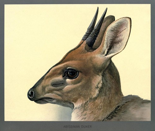 015-Pequeño antilope abisinio-Album of Abyssinian birds and mammals 1930- Louis Agassiz Fuertes