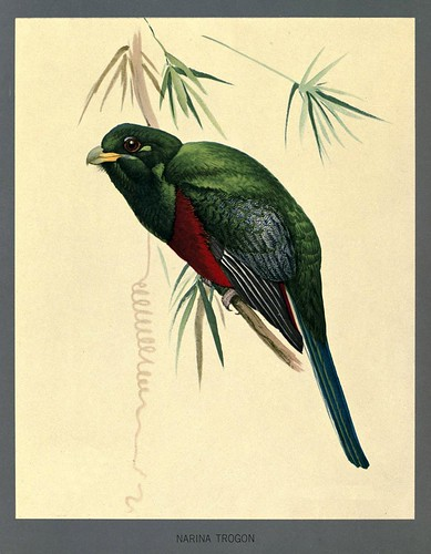012-Narina trogon-Album of Abyssinian birds and mammals 1930- Louis Agassiz Fuertes