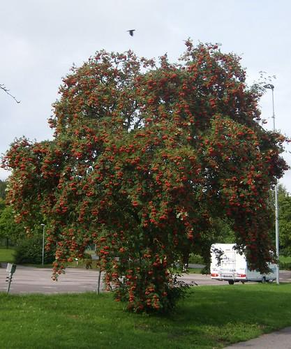Mycket rönnbär anses betyda att vintern blir kall