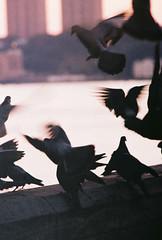 flight patterns (~RichArtpix~) Tags: nyc urban birds flying wings pigeons flight silhouettes mahattan hudsonriver fluttering citychickens manhattanwildlife flightpatterns manhattanpigeons