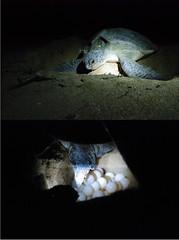 DSC_0530_ (Nasey) Tags: beach animal female digital bury nikon nest turtle reptile malaysia eggs af nikkor dslr seaturtle tamron 50mmf18d lay terengganu greenturtle reptilia kemaman penyu d80 1024mm nasey nasirali bertelur telukmaknik 1024mmf3545 monicabay pantaitelukmaknik