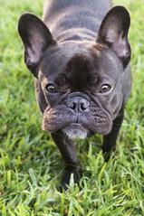 289Oz/365 Stalking (Lainey1) Tags: dog cute outside goatee nikon sweet adorable frenchie frenchbulldog 365 stalking ozzy puffyface 289 d90 nikond90 289oz