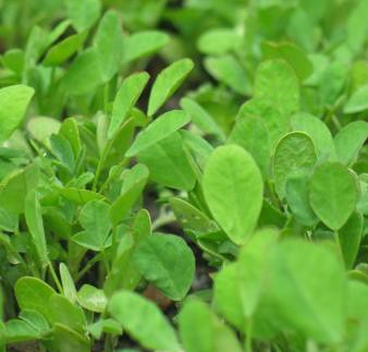 Naturehealth: Medical Benefits of Fenugreek Leaves