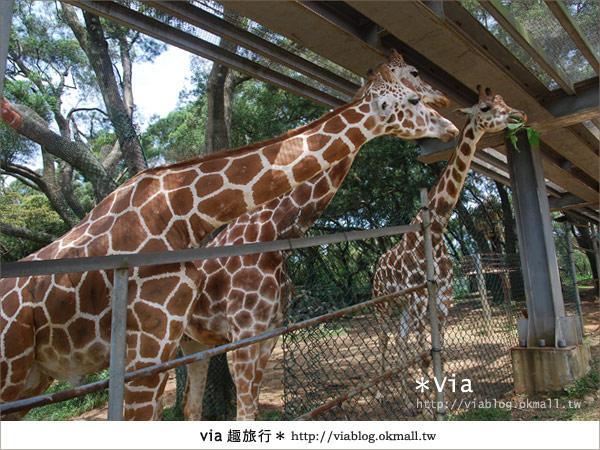 【關西六福莊】精彩秘探野生動物園/DIY手作/農趣樂~!40