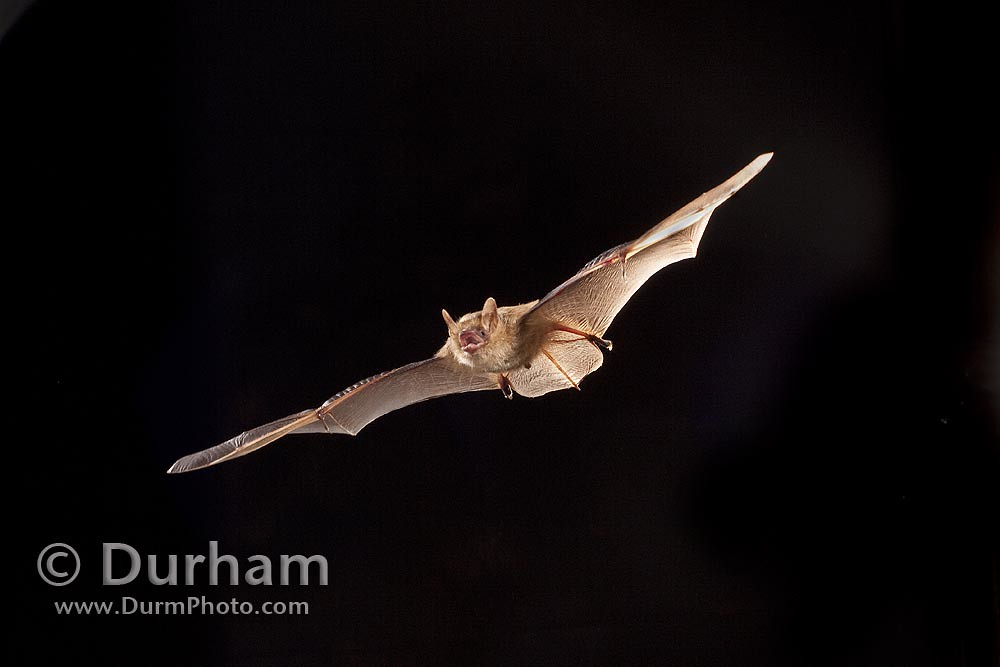 © Michael Durham / tricolored bat
