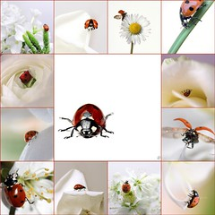 Ladybirds in white (Jolie Beads) Tags: white fdsflickrtoys mosaic cream ivory ladybug ladybirds coccinellidae lieveheersbeestje fllower lesprecieuxdaunes