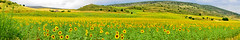PANORAMICA GIRASOLES (Javi Twin) Tags: