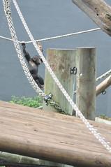 Day1_487 (wolftracker) Tags: zoo oz sydney australia nsw chimpanzee chimps tarongazoo sydneyzoo sydneyaustralia