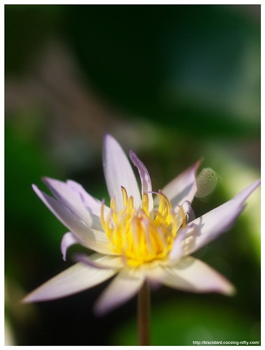 Water Lily #01