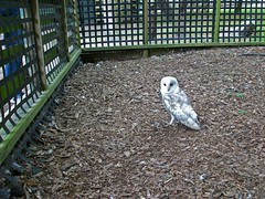 Barn owl (Daves Portfolio) Tags: bird barn wildlife owl wise birdofprey winghamwildlifepark