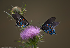 Pipevine Swallowtails on Bull Thistle (Skipbro) Tags: butterfly wildflower bullthistle pipevineswallowtail img4274