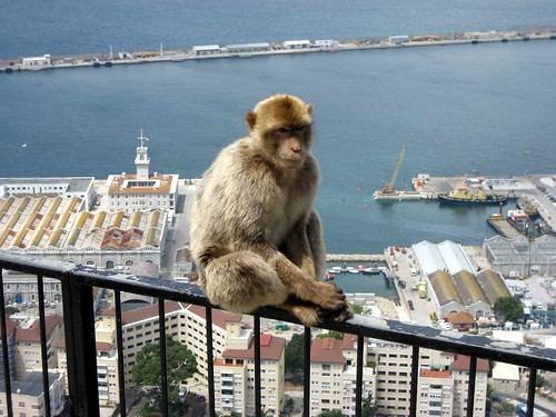 Barbary Macaque, Gibraltar by D-Stanley, on Flickr