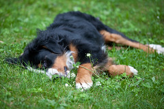 Tired after walk (lemonydes) Tags: dog grass canon is tired 5d usm f4 702004 zenon lisztwan