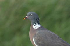Wood Pigeon by jackharrybill, on Flickr
