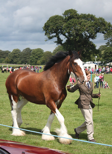 Clydesdale in hand