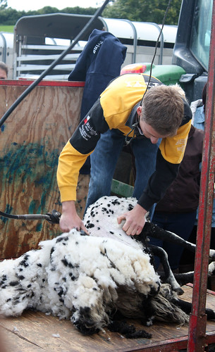 Shearing a spotty sheep