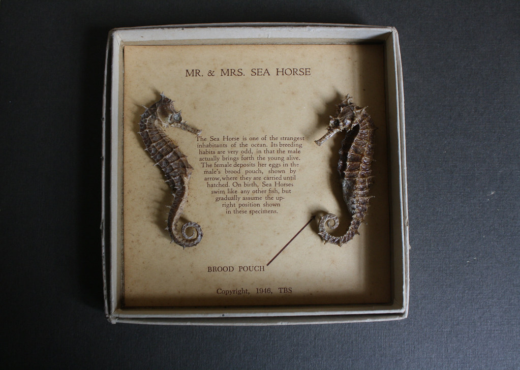mr and mrs seahorse